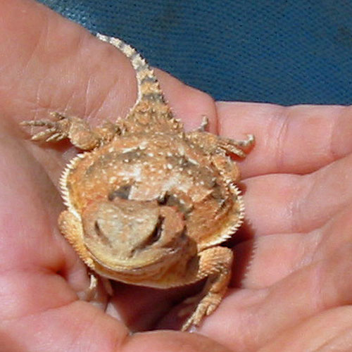 Horned Toad Lizard - Front View