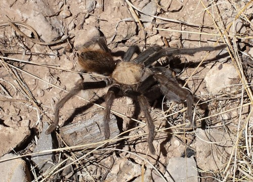Taurantula Crawling on Ground