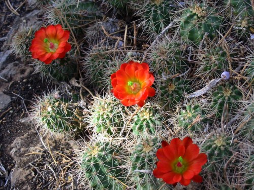 Hedgehog Cactus May 2005